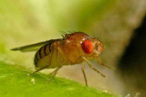 Плодовые мушки помогают в борьбе с раком